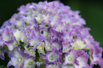 'Pia' Dwarf Hydrangea in Full Bloom in June
