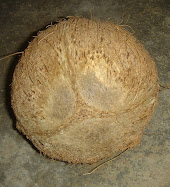 Kelapa Buta