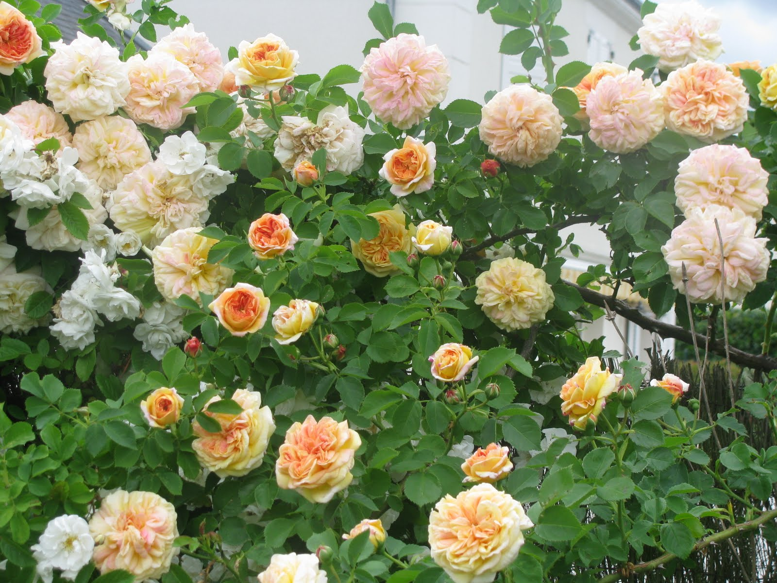Le jardin de v rone rosier 39 alchemist for Rosier jardin de france