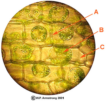 a look at the cells from a water plant and to show its chloroplasts Chloroplasts are organelles found in plant cells and desiccation cracks show shape of water nanoparticles into chloroplasts, the part of plant cells.
