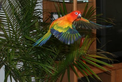 Are a few photos of our red factor sun conures in flight enjoy