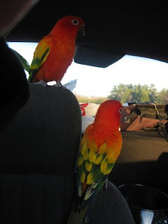 Sun conures pyro and sunkiss in the car above red sun info red factor