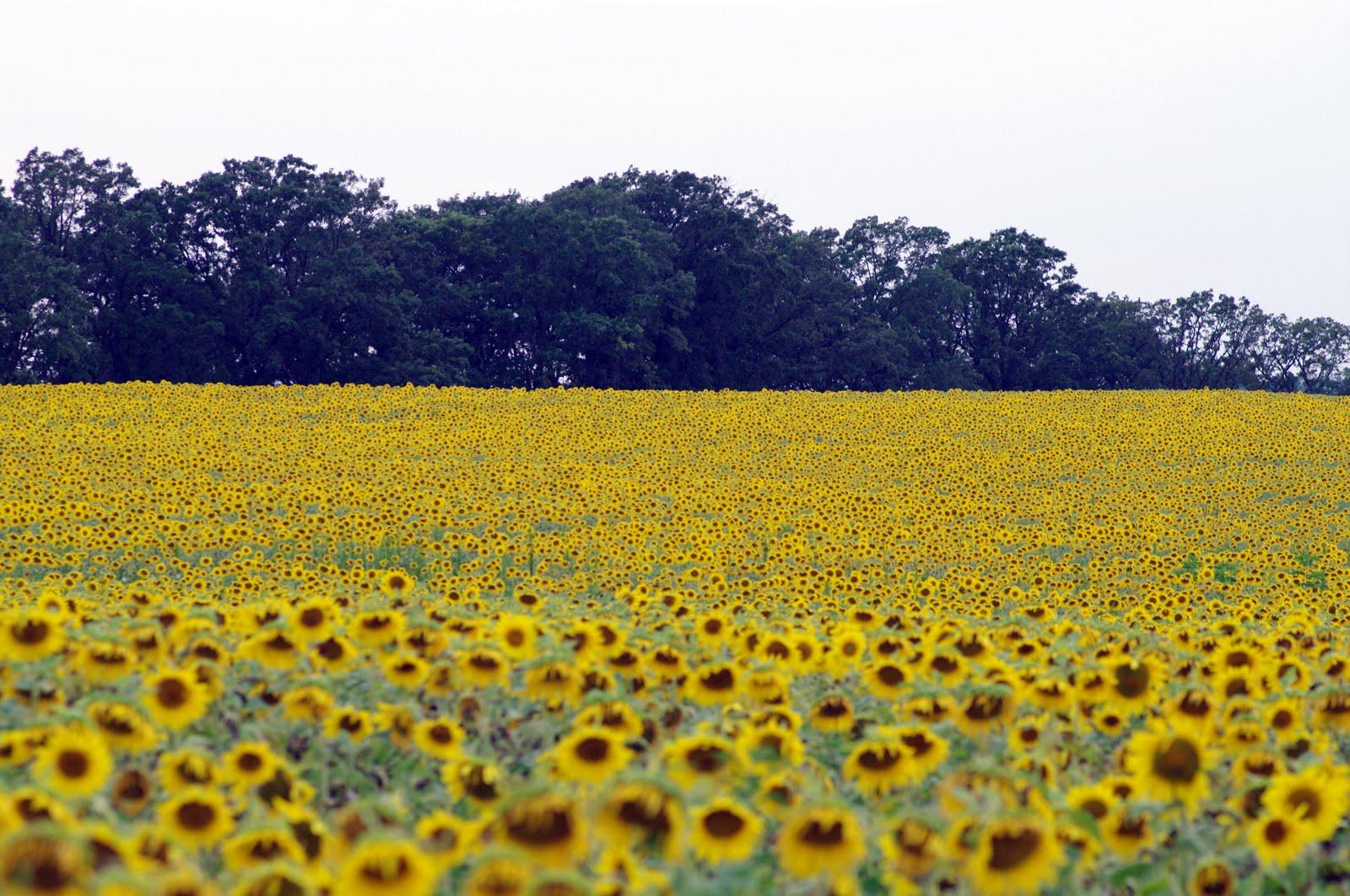 Be Yourself Everyone Else Is Taken Sunflower Fields