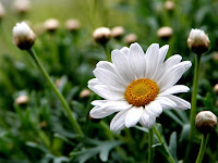 beautiful flower wallpaper daisy flower free flower wallpaper pictures of flowers