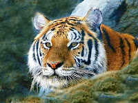 tigger wallpaper tiger eyes tiger wallpapers