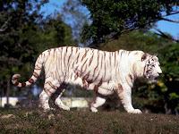 white bengal tigers free wallpapers tiger pictures white tiger backgrounds white tiger desktop wallpaper free white tigers wallpapers