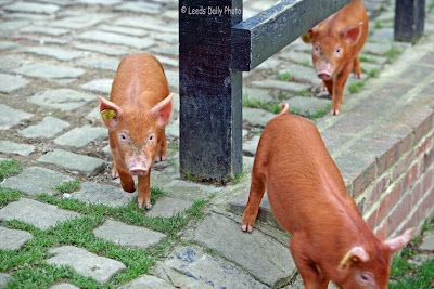 Tamworth Piglets Temple Newsam Farm Leeds