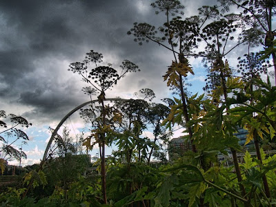 Giant Hogweed Leeds