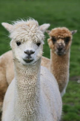 Yorkshire Alpacas