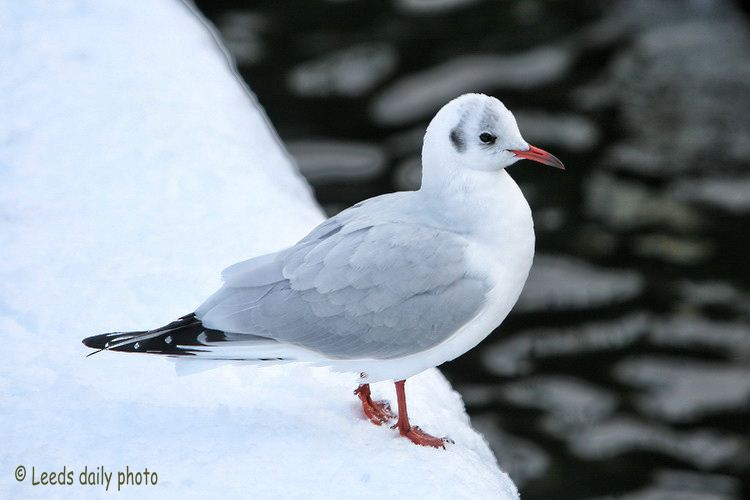Gull Snow Leeds