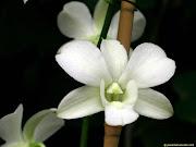 Los rosales (Rosa spp.) son un conocido género de arbustos espinosos y . (foto de flor orquidea )