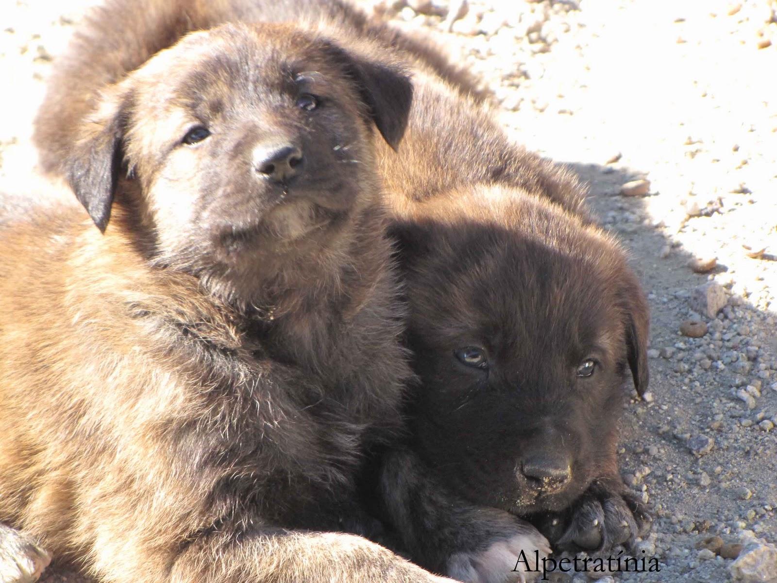 Alpetratínia: Cão Serra da Estrela de Pêlo Curto