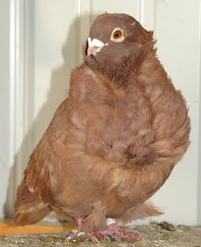 Chinese Owl Pigeon Pictures ~ ENCYCLOPEDIA OF PIGEON BREEDS