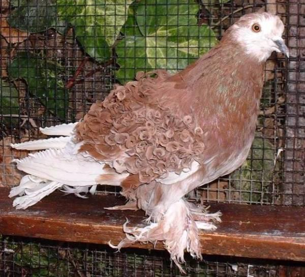 Frill Back Pigeon Pictures ~ ENCYCLOPEDIA OF PIGEON BREEDS