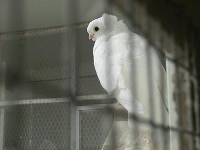 Old German Owl Pigeon