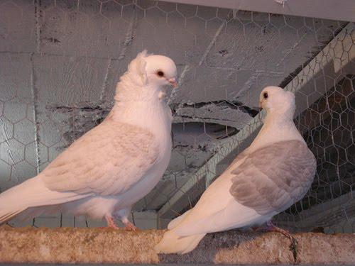 Old German Owl Pigeon Pictures ~ ENCYCLOPEDIA OF PIGEON BREEDS