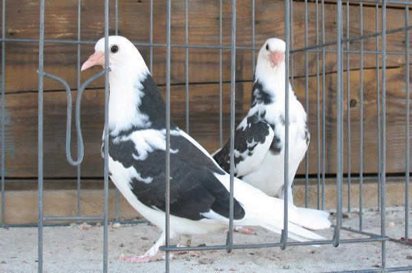 Roller pigeons - photo#19
