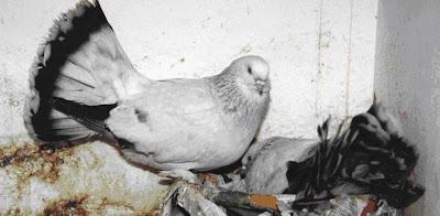 Thai Fantail Pigeon