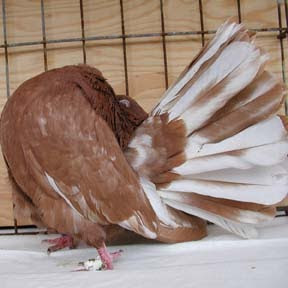 Brown Indian Fantail Pigeon