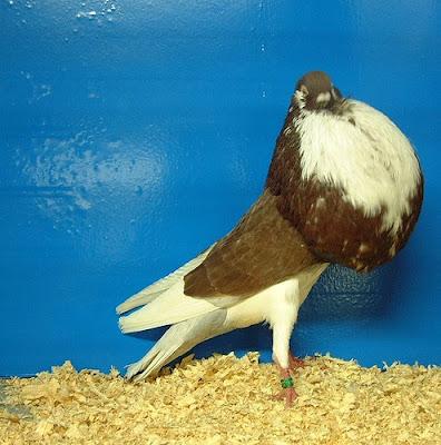 Norwich Cropper Pigeon