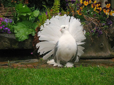 white fantail pigeon