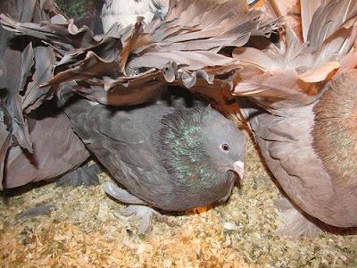 Black Fantail Pigeon