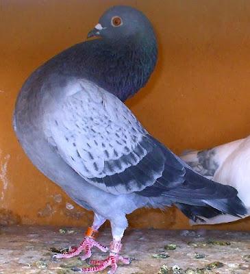 Morrillero Alicantino Pouter Pigeon