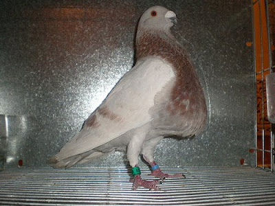 Laudino Sevillano Pouter Pigeon