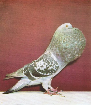 Hessian Pouter Pigeon
