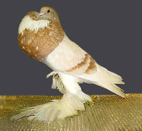 Pomeranian Pouter Pigeon Pictures ~ ENCYCLOPEDIA OF PIGEON ...