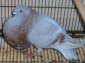 Gaditano Pouter Pigeon