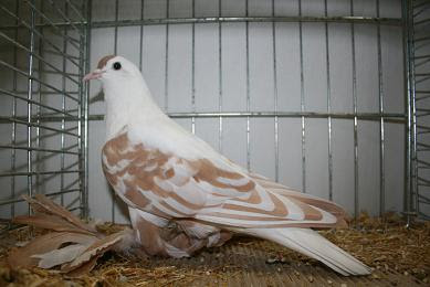 Tiger Swallow Pigeon
