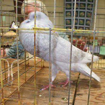 Horseman Thief Pouter Pigeon