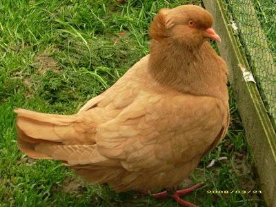 Sottobanca Pigeon