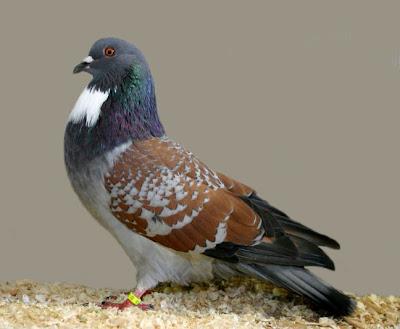 Cauchois Pigeon