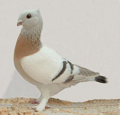 Lucerne Gold Collar Pigeon