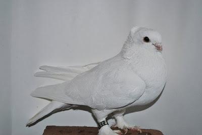 Seraphim Pigeon
