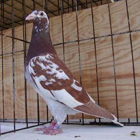 Meuleman - Racing Pigeon