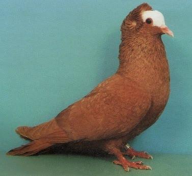 South German Latz Pigeon