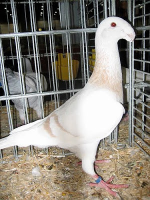 German Beauty Homer Pigeon