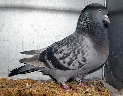 Altenburg Trumpeter Pigeon