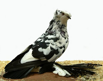 German Double Crested Trumpeter Pigeon