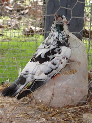Parlor Roller Pigeon
