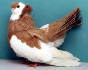 Koros Tumbler Pigeon