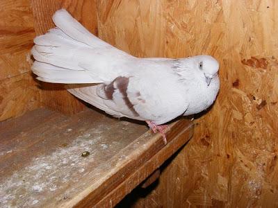 Romania Argentina Tumbler Pigeon