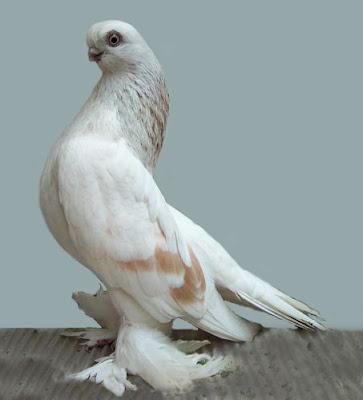 Berlin Short Faced Muffed Tumbler Pigeon