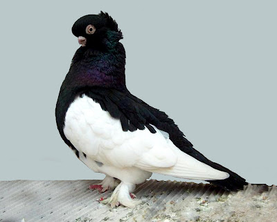 Ancient Tumbler Pigeon
