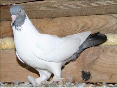 Kelebek Turkish Tumbler Pigeon