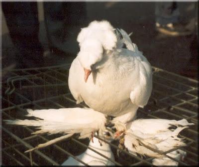 Demkes Turkish Tumbler Pigeon