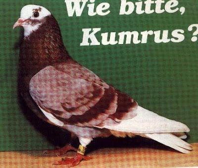 Kumru Turkish Tumbler Pigeon